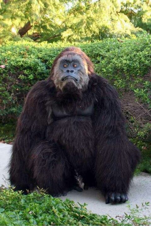 hyper real gorilla suit by animal makers & hyper real gorilla suit by animal makers | Costumes | Pinterest ...