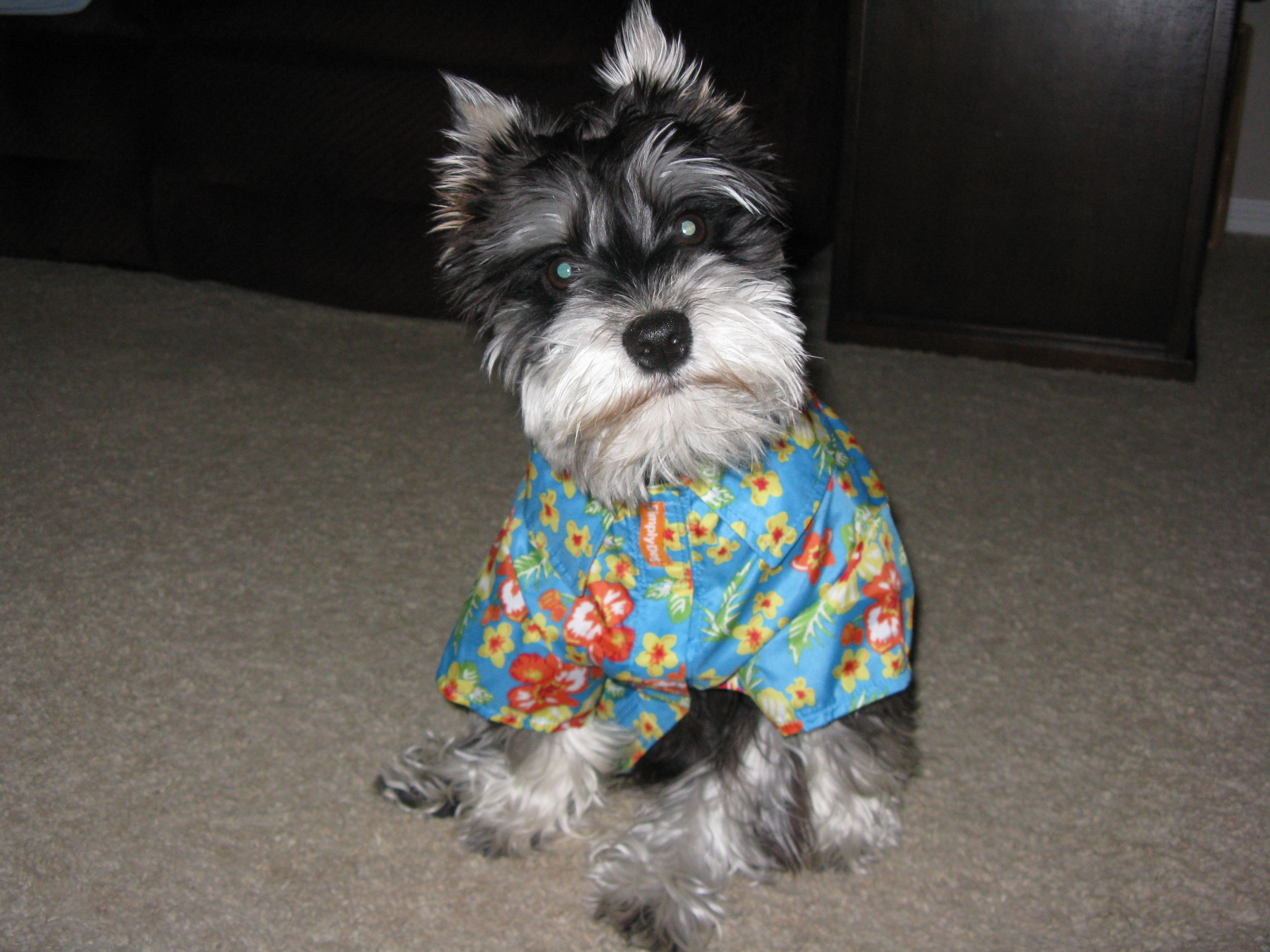 Rudy And His First Hawaiian Shirt Dogs Schnauzer Love