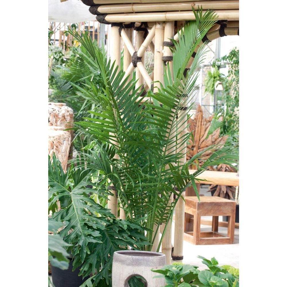 Home Depot Palm Trees Costa Farms Majesty Palm In 9 25 In Grower Pot Outdoor Bliss