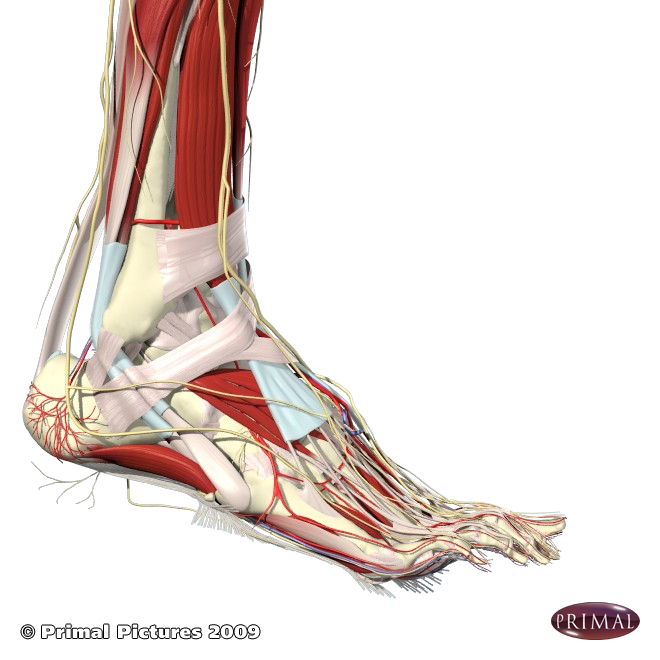 Plantar Fascia And Arch Muscles Feet Pinterest Muscles And