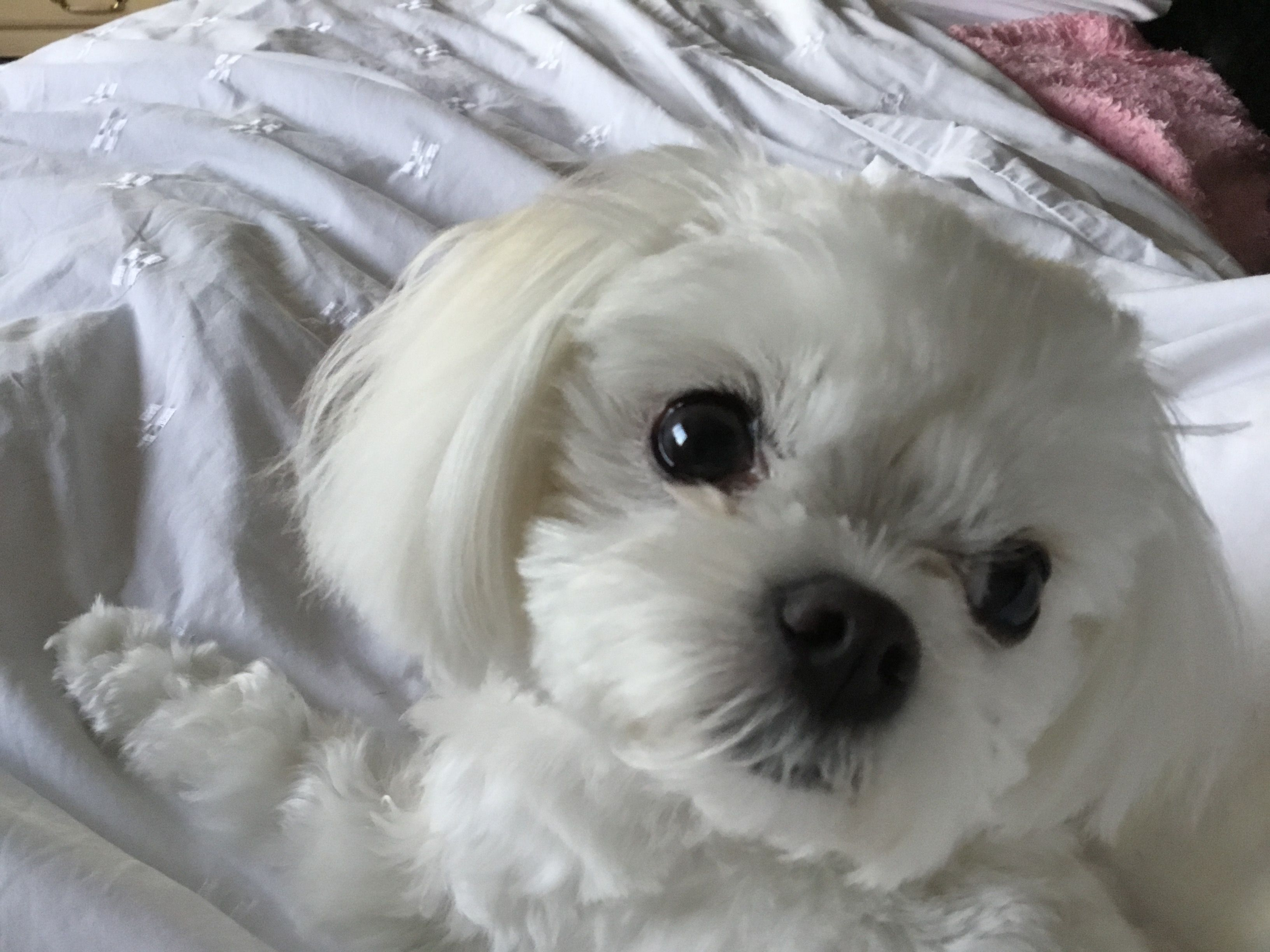 Puppies, Maltese puppy, Cute puppies