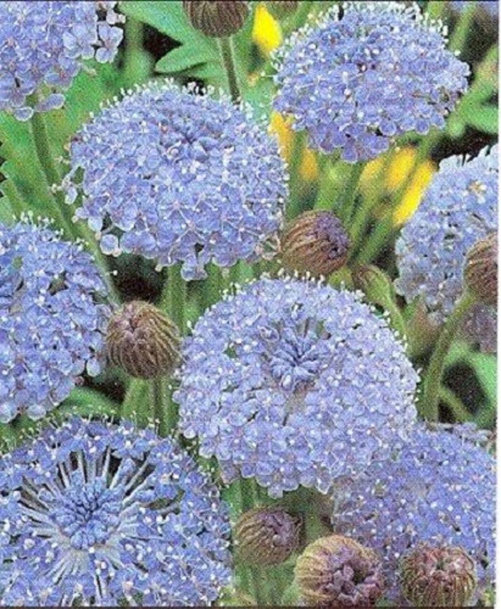 100 Blue Lace Flower Island Daisy Trachymene Coerulea Flower Etsy In 2020 Flower Seeds Trees To Plant Flowers