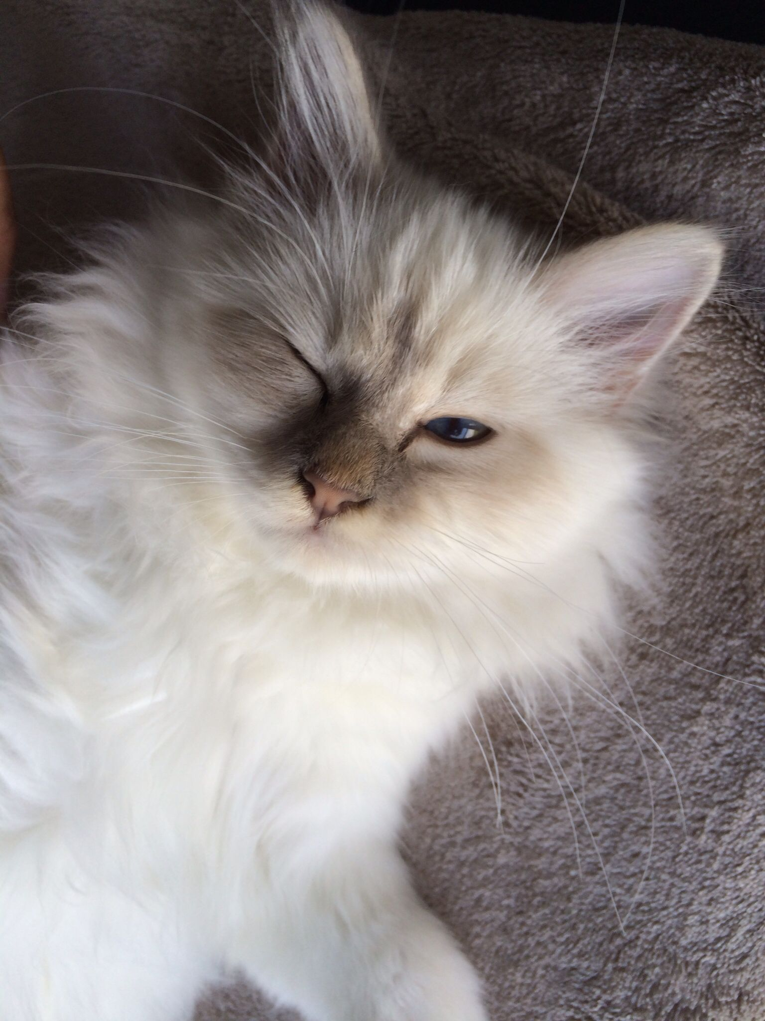 Birman Cat ... #wink #clindoeil #soho