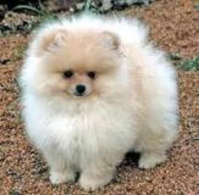 Pomapoo Pomeranian Puppy Cute Pomeranian Pomeranian Dog