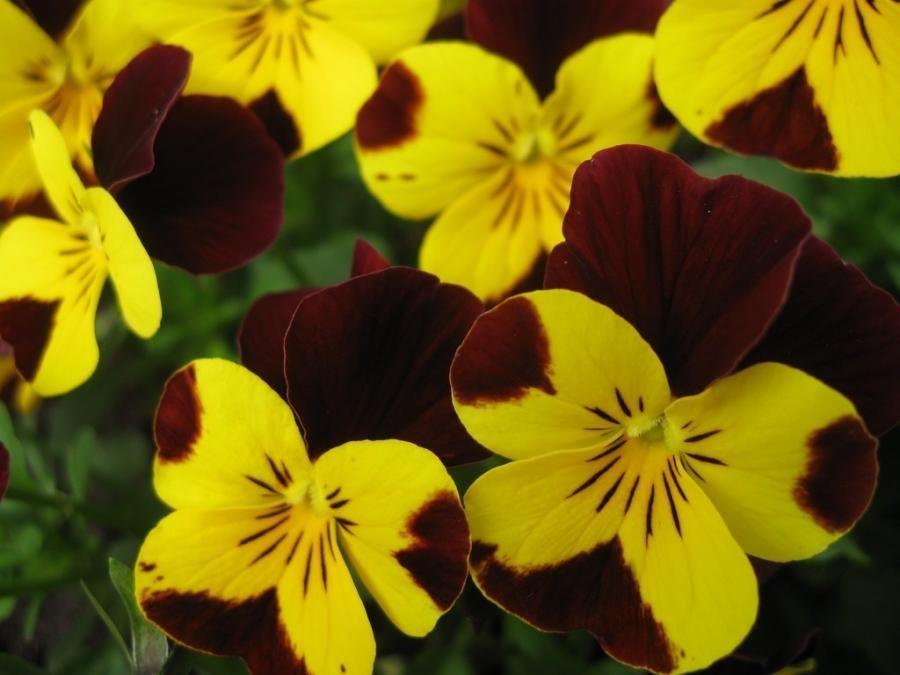 Yellow And Maroon Pansies Pansies Flowers Pansies Beautiful Flowers