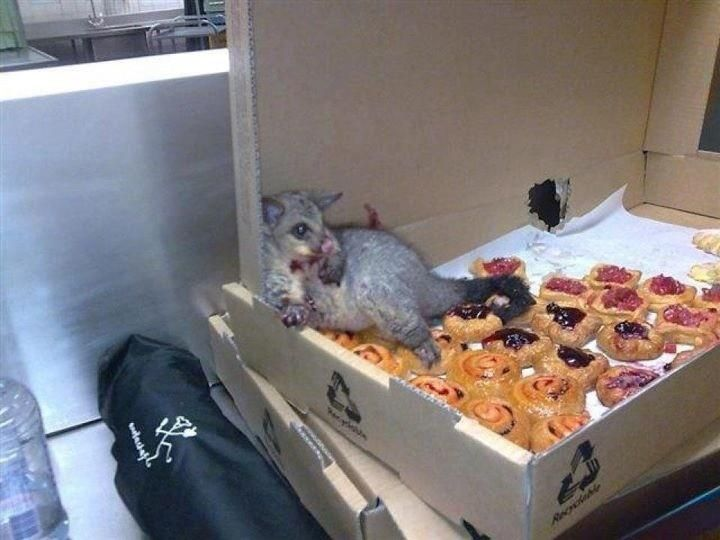 possum eats way through box of pastries and is too full to leave. awww