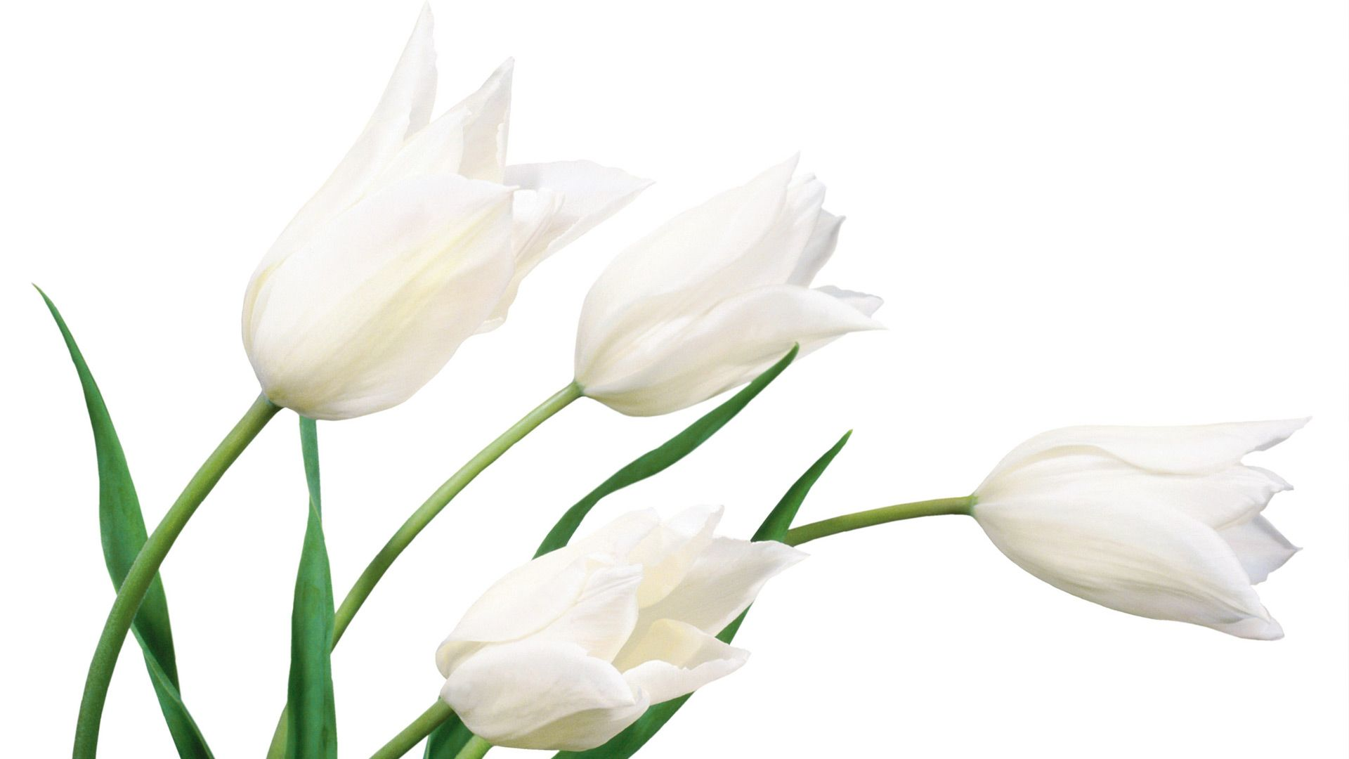 White Tulip Flower Green Stalk Wallpaper Hd Shopping List