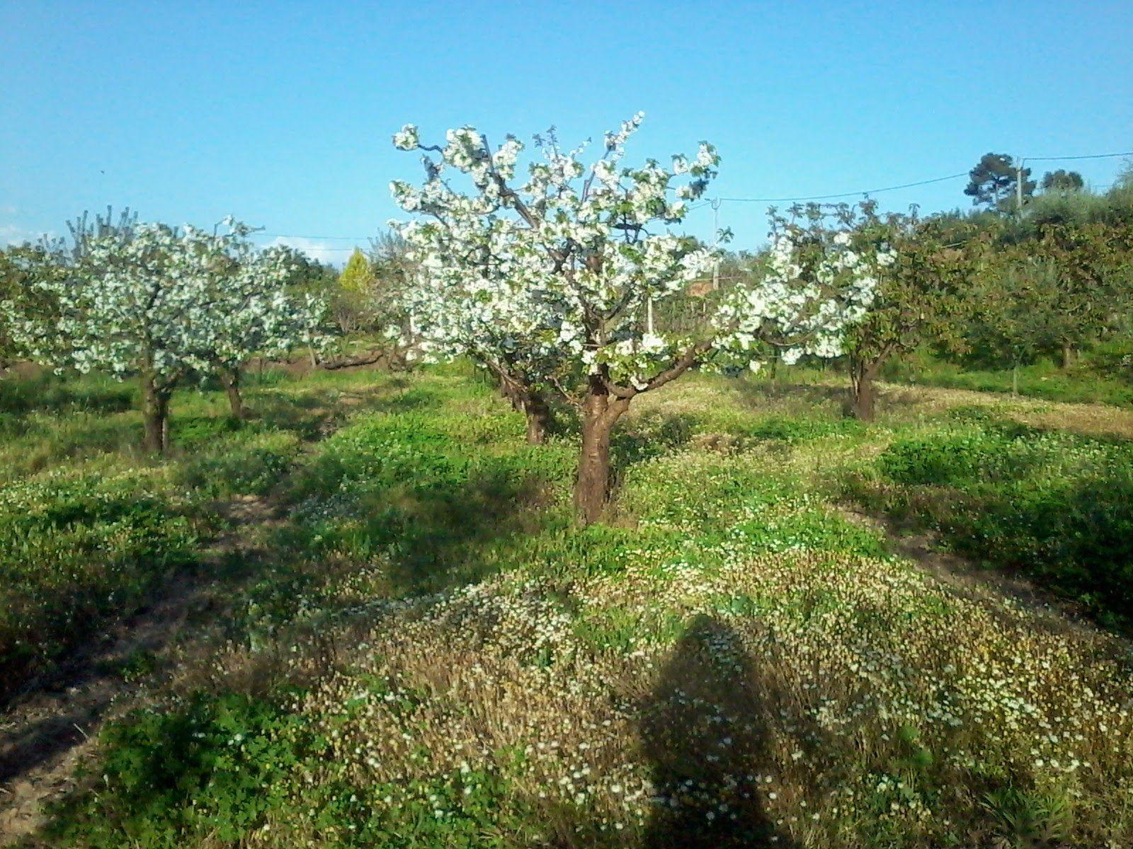 Cerejeiras em flor @ Fundão