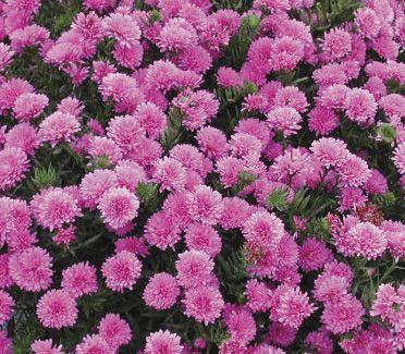 Aster Novi Belgii Henry Iii Pink Pink Perennials Fall Mums Nursery Landscape Design