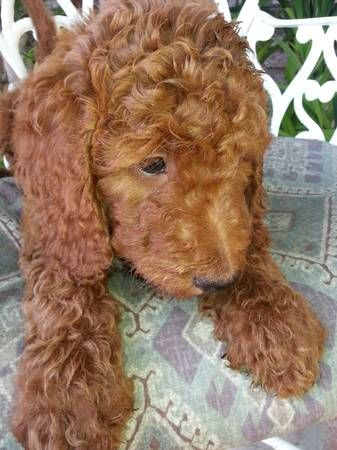 Female And Male Goldendoodle Pups 8 Weeks Old Looking For There Forever Homes They Come With Up To Date Shots And Seen By Vet Red Goldendoodle Cute Animals Pup
