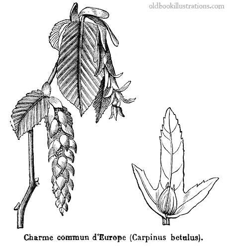 Illustration showing Carpinus betulus (European or common hornbeam), a hornbeam native to western, central and southern Europe, extending eastward as far as western Russia and the Ukraine