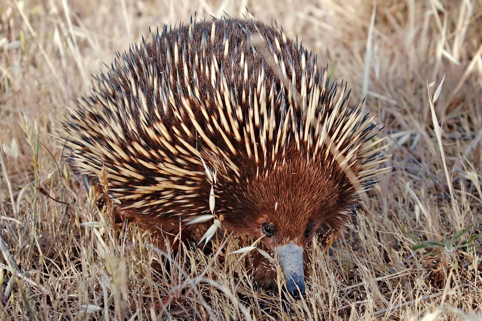 Echidna One Of Two Egg Laying Mammals The Other Is The