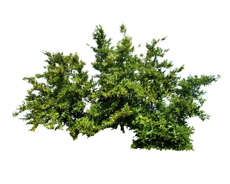 Arbusto material p photoshop pinterest arbustos - Arbustos ornamentales de jardin ...
