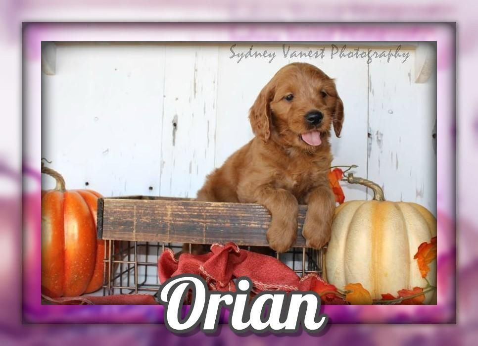 Orian Female Mini Goldendoodle 800