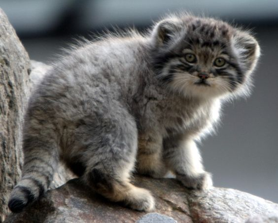 This Adorable Furball Is A Manul Kitten Http Ift Tt 2lrczcy Cat Species Cute Animals Small Wild Cats