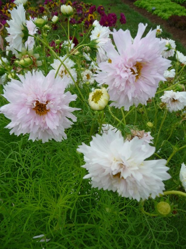 Cosmos 'Double Click' Plantes que j'aime / Plants I love