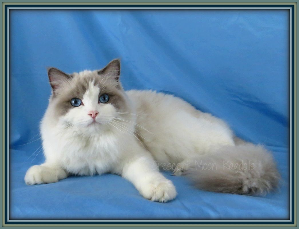 Our Ragdoll Cats - Crescent Moon Ragdolls Cat Ragdoll Kittens for ...