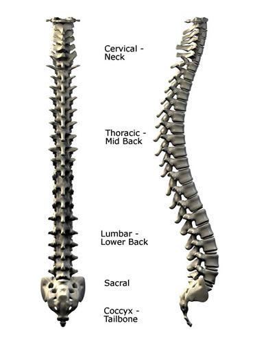 spinal cord spine sculpture vertabrae human anatomy torso skeleton, Skeleton