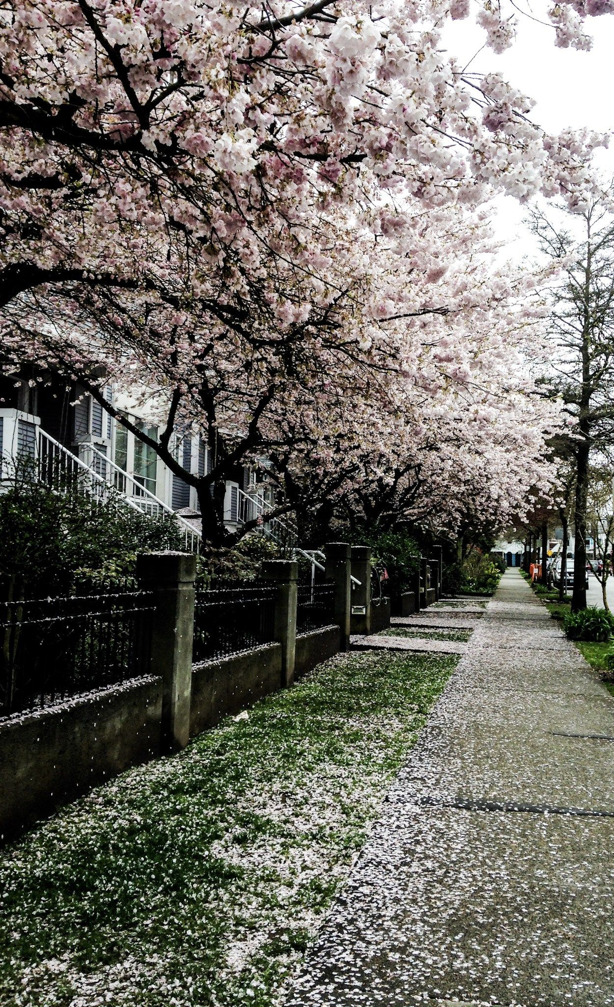 The Best Spots To Photograph Vancouver S Ridiculously Good Looking Cherry Blossoms Cherry Blossom Canada Travel Vancouver