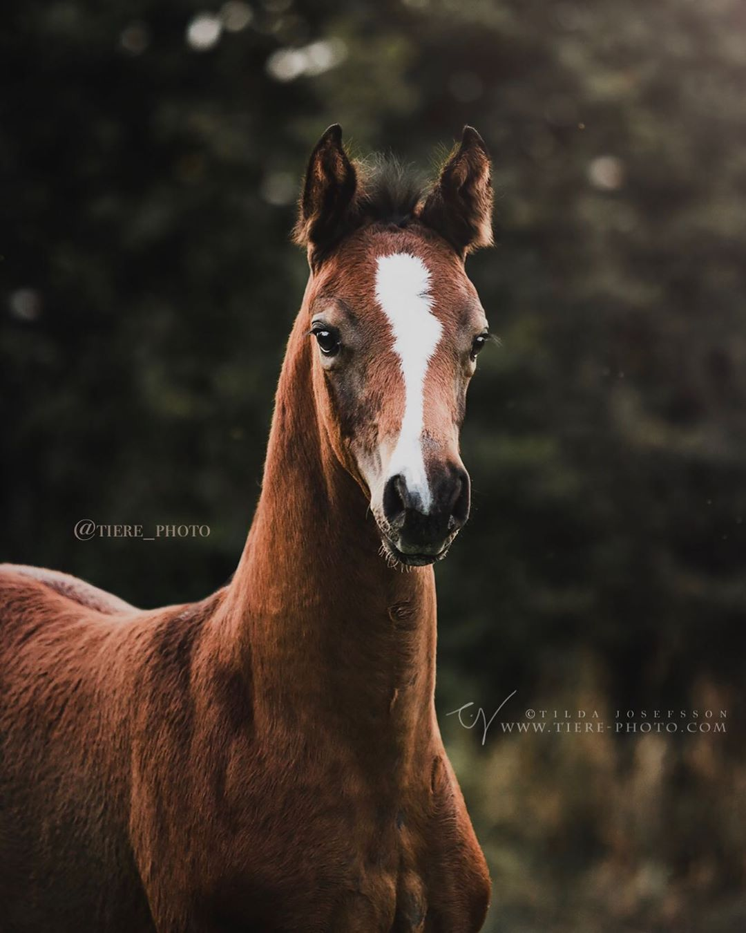 Foal From Mazurek Horse Team Photoshoot During Equine Photography Tour In Poland 2017 Hosted By Katarzyna Photo Equine With Images Horses Pretty Horses Foals