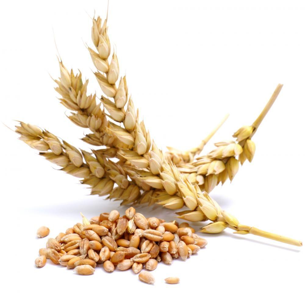 Насіння озимої пшениці Смуглянка