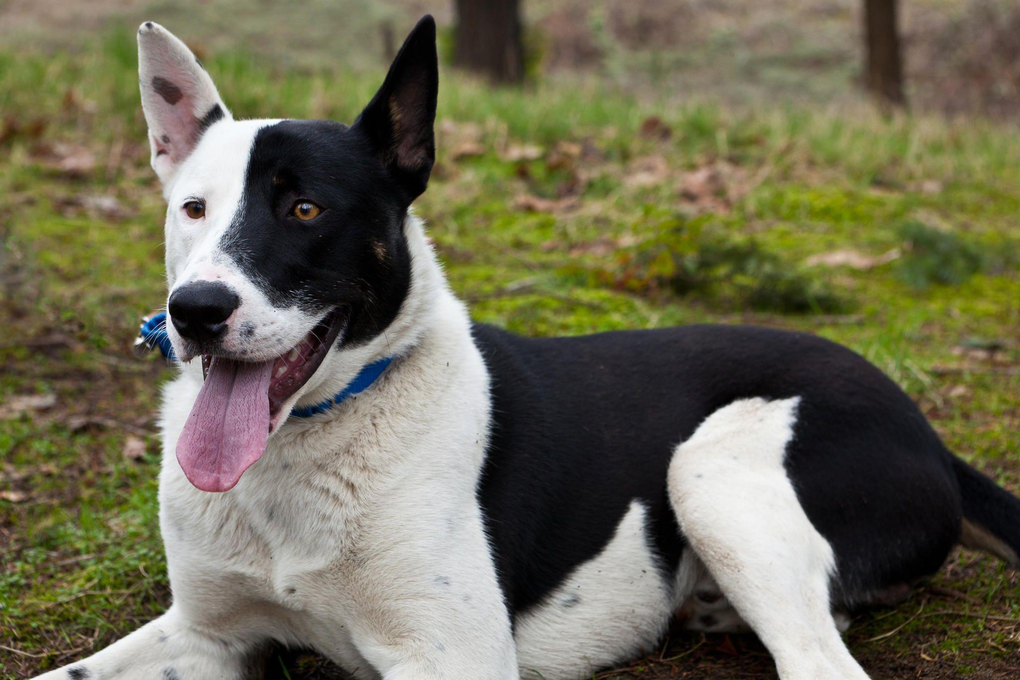 Domino.jpg (2048×1365) Dogs, Hybrid dogs, Border collie