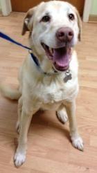 Adopt Duke On Yellow Labrador Retriever Labrador Retriever Dog Retriever Dog