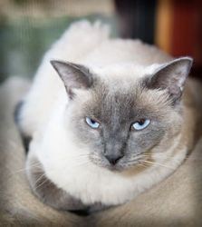 Storm Is An Adoptable Siamese Cat In Coppell Tx To Request More Information About Storm Click Here To Adopt Storm Visit Our Website A With Images Siamese Cats Adoption
