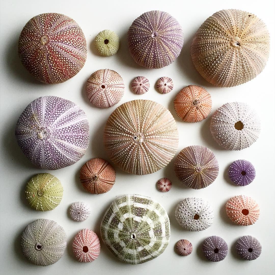 Colecciones erizos de mar pepcarrio colecciones for Colecciones omnia