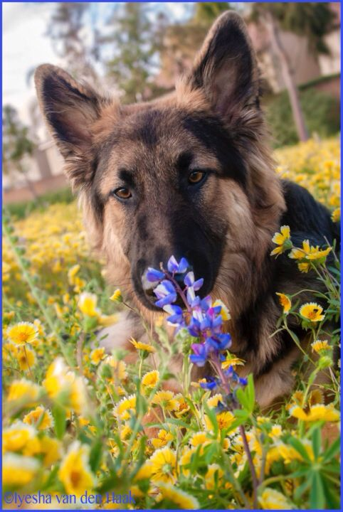 Gsd Amadeus Dogs Dog Pictures Shepherd Dog