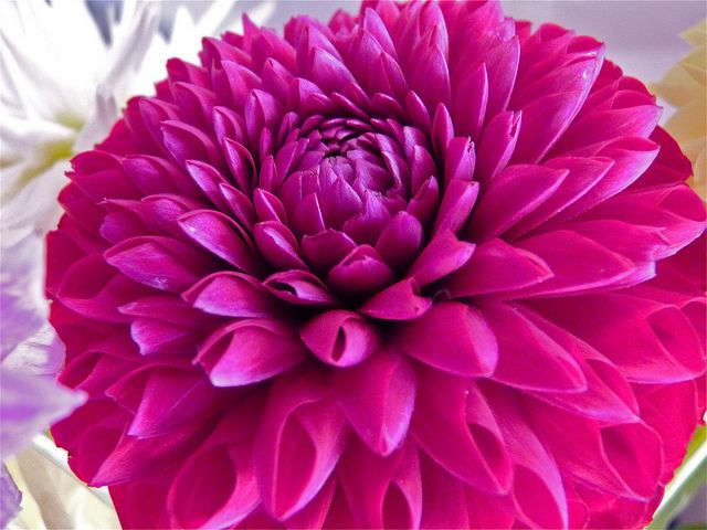 Hot Pink and White Dahlia 001 fine art flower by ... |Hot Pink Dahlia Flowers