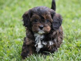 Josh And I Get Our Chocolate Cavapoo The End Of Sept He Is Brown