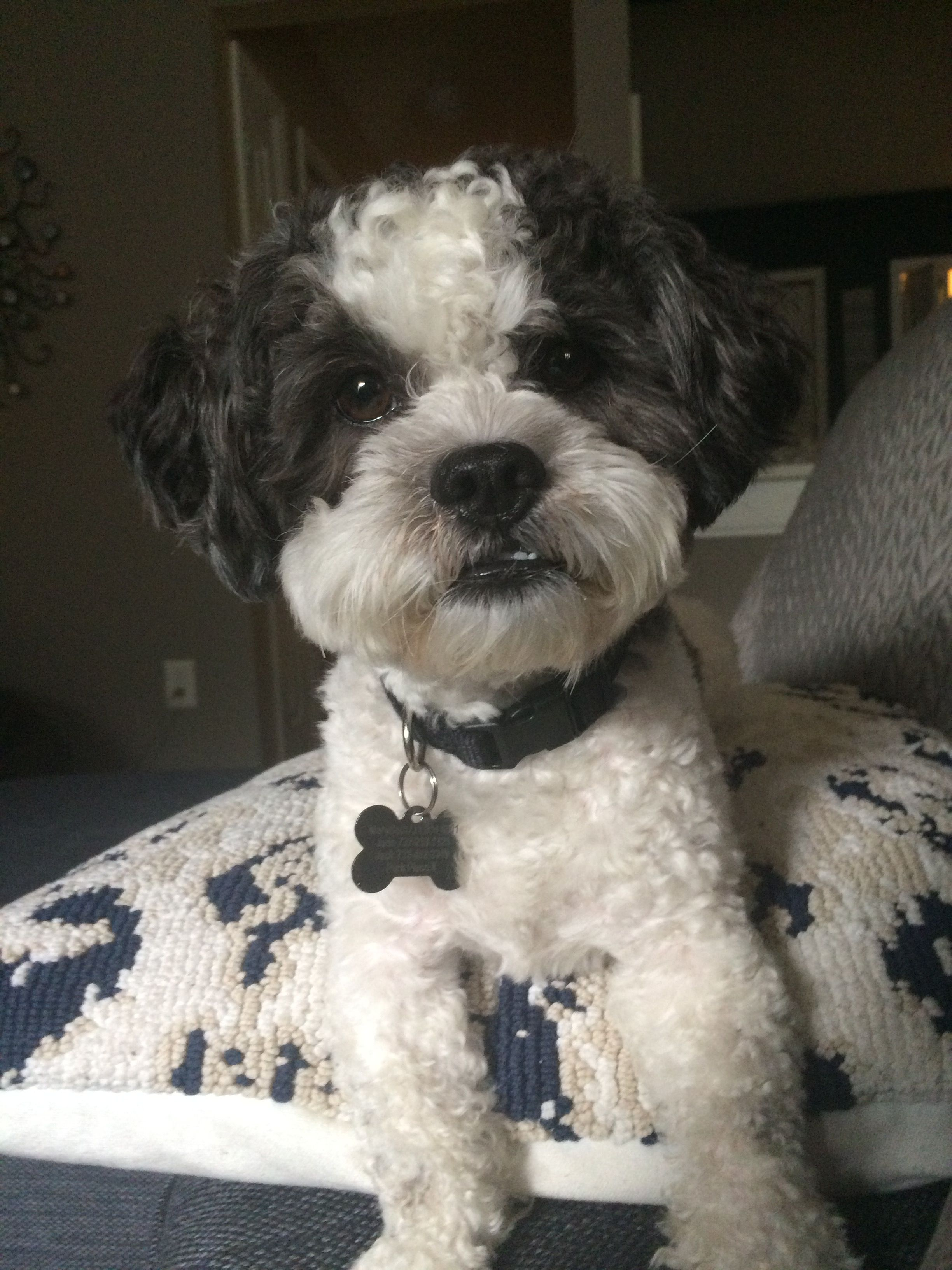 Pin By Mary Beth On Teddy Bear The Shihpoo Shih Poo Fur Babies Puppies