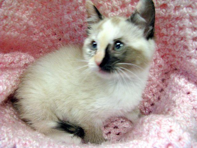 Siamese Mix Cats | Uhura, a Little Girl Siamese Mix Kitten | Flickr - Photo Sharing!