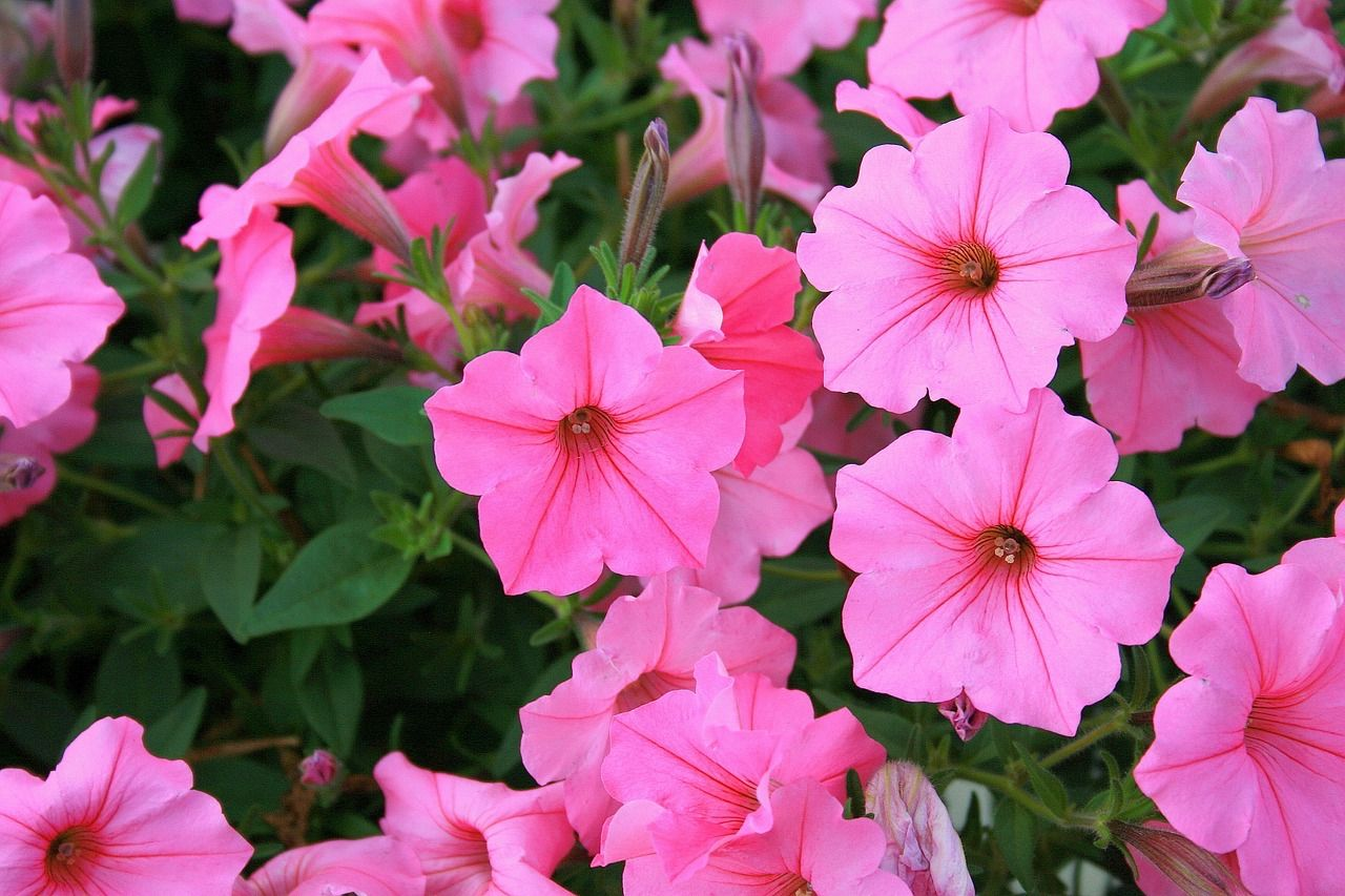 Annuals That Bloom Nonstop Without Deadheading Green Thumb