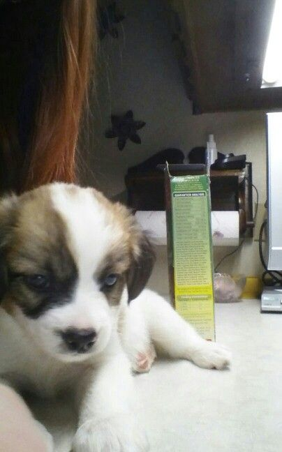 Hi I M Toby I M A 6 Week Old Papillon Puppy That Lives In