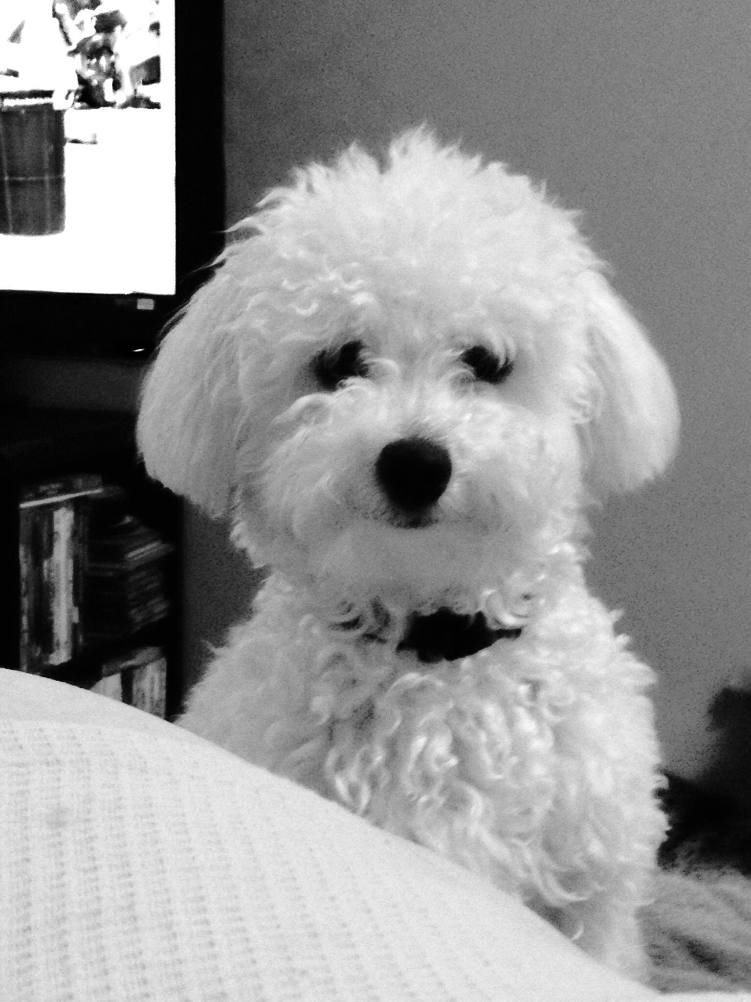 Pierre The Poochon Bichon Frise Dogs Super Cute Dogs Bichon Dog