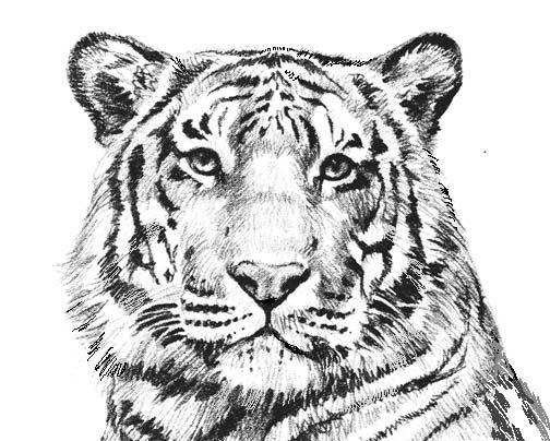 tiger coloring pages printable coloring - Tiger Coloring Page