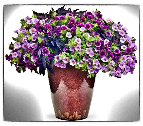 Great Container Plant: Superbells® Calibrachoa in Purple by Proven Winners Jonesboro | Memphis | Superbells Proven Winners Great for Heat Container Plant Color Butterflies Annual