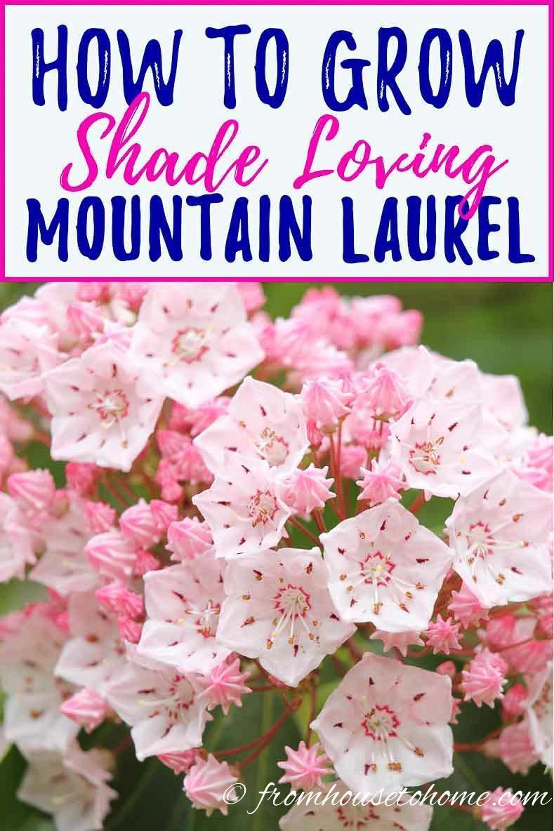 Mountain laurel care how to grow beautiful shade loving kalmia they are so easy to care for and have really pretty flowers that just light up my shade garden in the spring find out more about mountain mightylinksfo