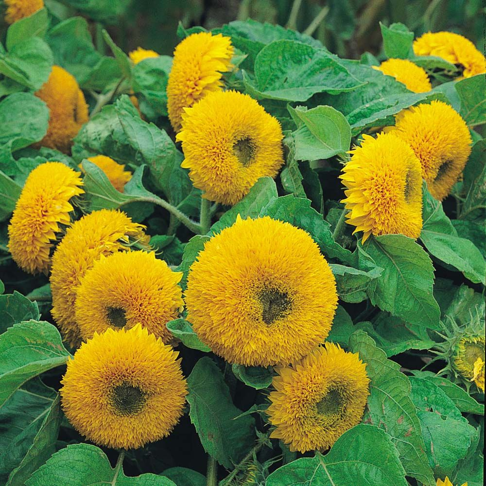 Sunflower Teddy Bear Helianthus Great For Containers And An