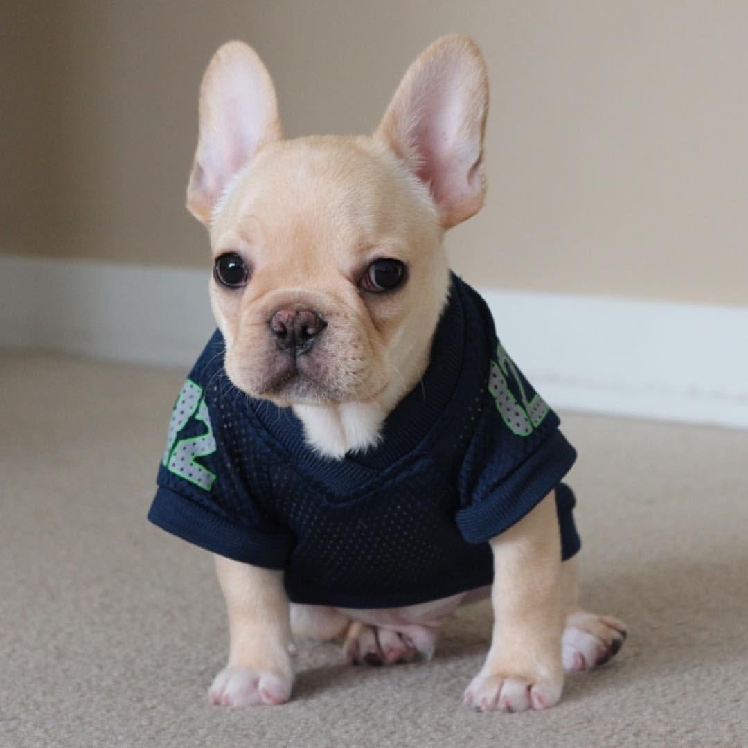 Paco The French Bulldog Puppy Buldog Perros Bulldog Bulldog