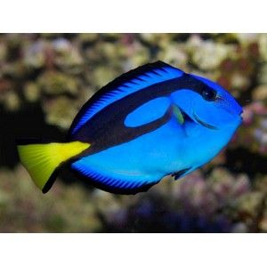 Blue Hippo Tang Super Special Saltwater Fish Tangs Blue Tang Fish Saltwater Fish Tanks Marine Fish