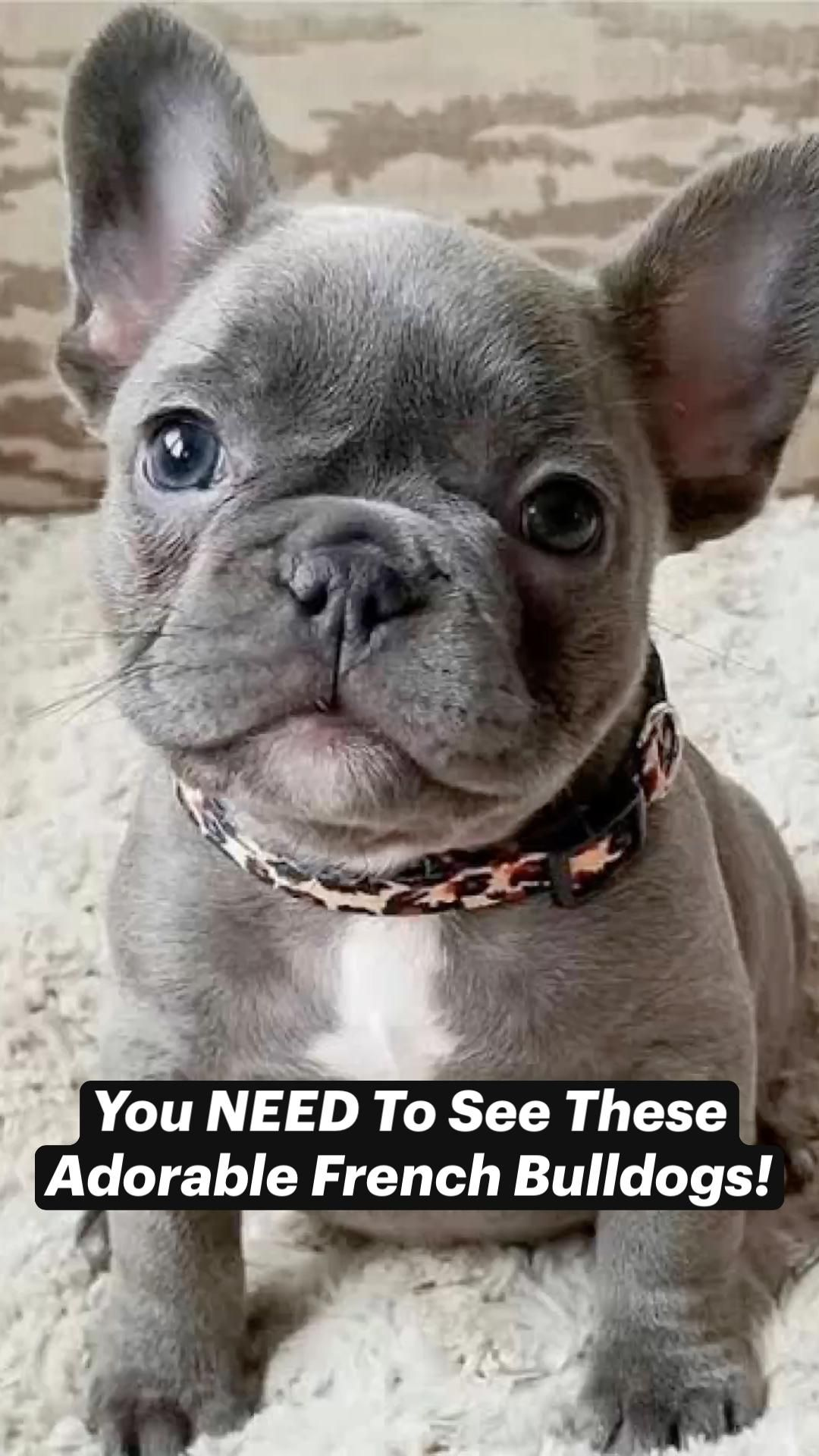 You NEED To See These Adorable French Bulldogs!