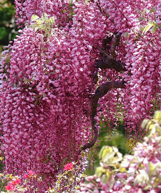 This Twining Vine Is A Vigorous Grower That Can Cover A Span Of 20 Feet Or More Making It The Perfect Sprawling Accent To T Wisteria Plant Garden Vines Plants