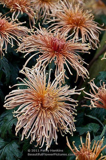 Mum Spider Senkyo Kensin 5460 Spider Mums Front Flower Beds Flowers