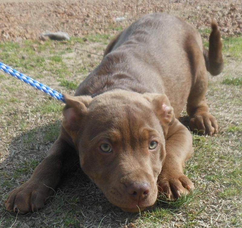 Adopt Reno Beautiful Green Eyes On Pitbull Puppies