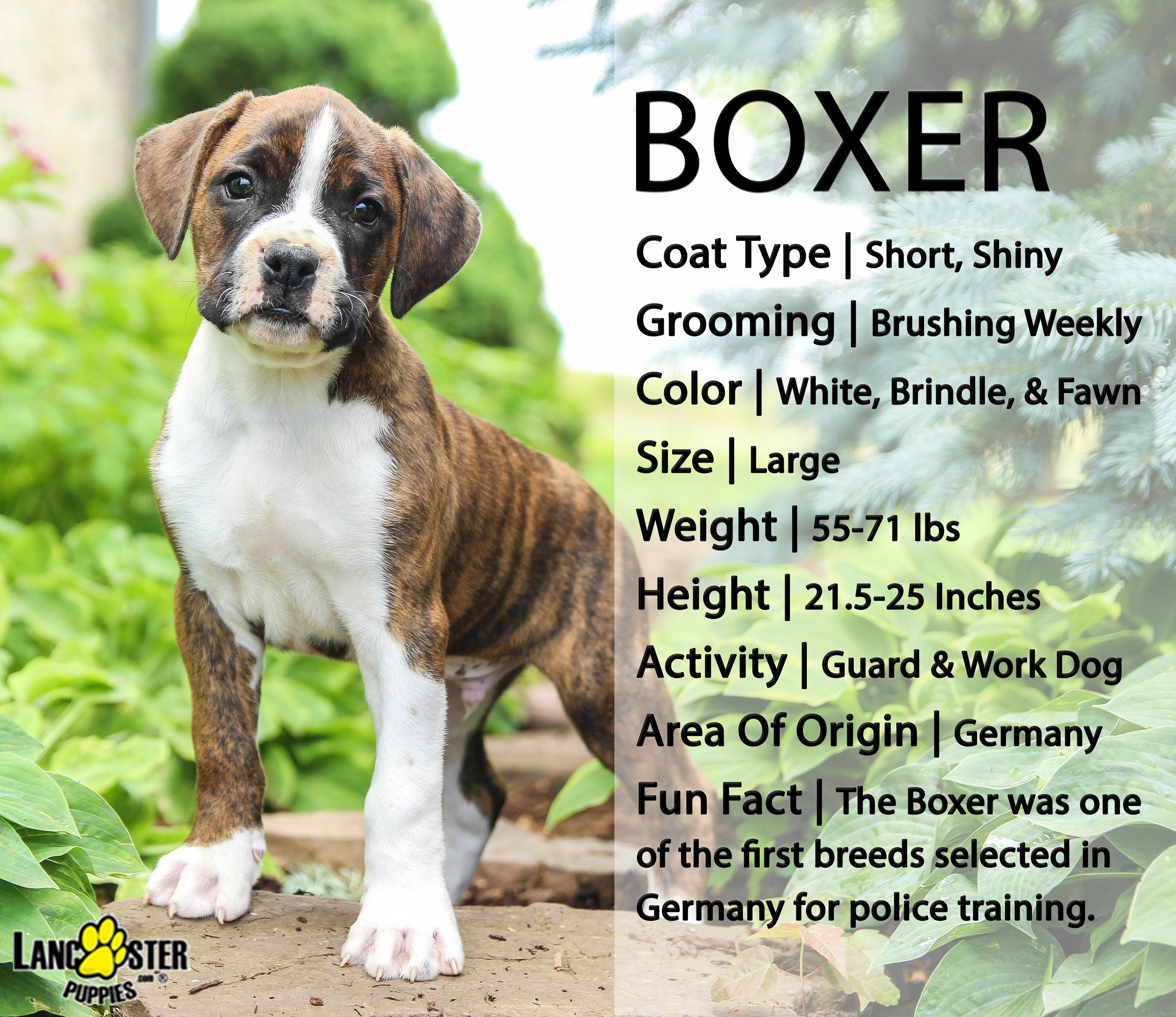 Boxer Puppies For Sale Boxer Dogs Brindle Boxer Puppies For