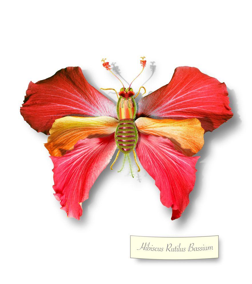 Hibiscus rutilus bassium michel tcherevkoff butterfleur hibiscus rutilus bassium michel tcherevkoff hibiscusflower artgreeting izmirmasajfo