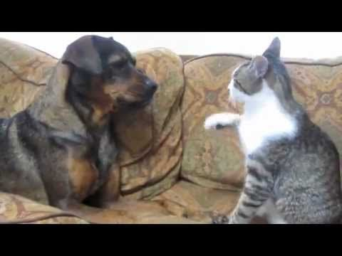 dog vs cat fight very funny cute video need to make this duo ambassadors of how you can get. Black Bedroom Furniture Sets. Home Design Ideas